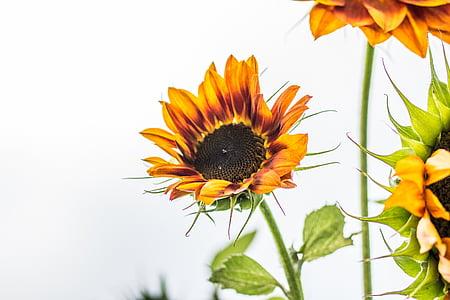 Sun flower, Helianthus annuus, õis, Bloom, Sulgege, Makro, päevalill