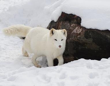 animal, arctic, blur, canine, cold, cute, dog