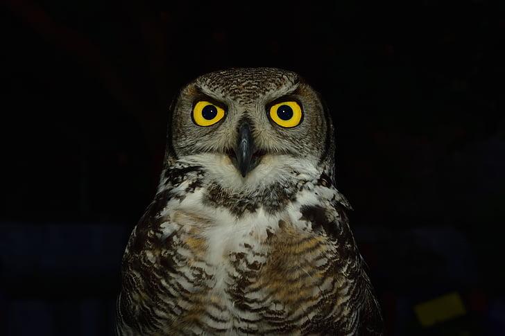 Pöllö, Raptor, silmät, keltainen, : Levigliani, värit, Ali