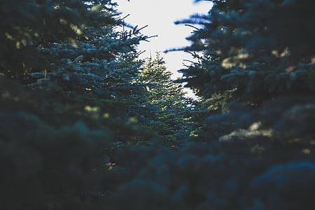 evergreen tree, spruce, forest, fir, dark