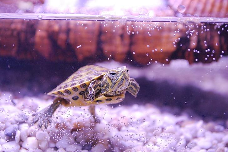 костенурка, trachemys scripta, водна костенурка, аквариум, младите животни, влечуги, водни
