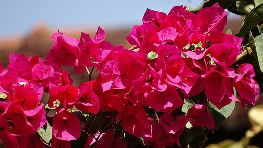 tavaszi, piros, virág, kert, természet, növény, levél