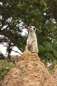 Mangust, looma, Zoo, meerkats, Meerkat, imetaja, loodus