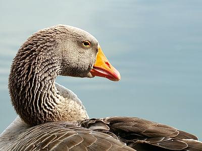 диких гусей, птах, води птиці, Свійська птиця, перелітних птахів, гуска, Природа