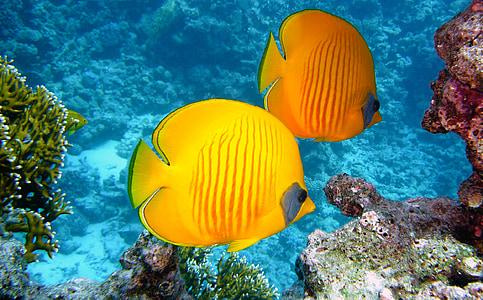 peix zitronenfalter, peix, exòtiques, tropical, groc, Submarinisme, sota l'aigua