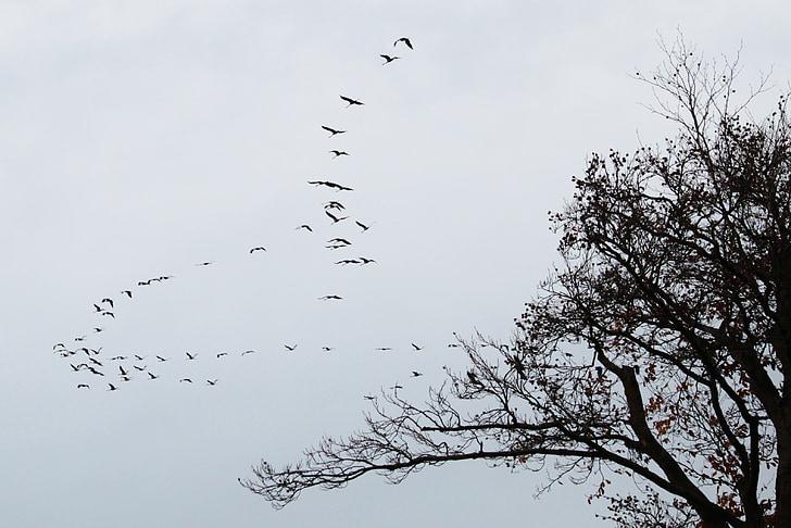 รถเครน, ฝูงนก, นกอพยพ, นก, สัตว์, ก่อตัวบิน, โลกของสัตว์