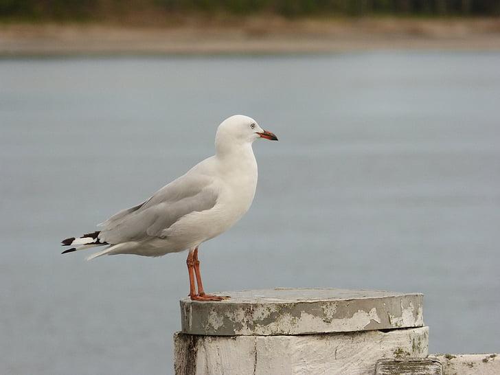 martı, Deniz, martı, kuş, yaban hayatı, Seabird, su