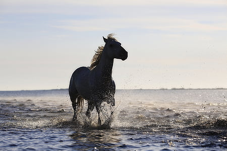 con ngựa, chạy mau, con ngựa, tiêu chuẩn, ngựa, Mane, Trotter