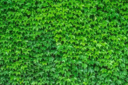 Κισσός, αμπέλου, τα φύλλα, φυτά, hwalyeob, φύση, Damme