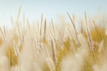 밀, 식물, 필드, 농업, 자르기, 성장, 시리얼 공장