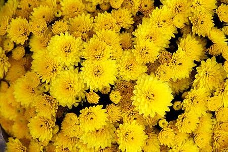 krüsanteem, lill, kollane, Bloom, õis, kroonleht, õie