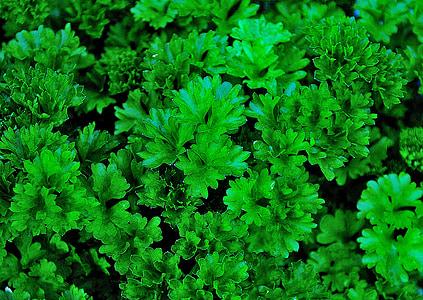 julivert, herbes aromàtiques, verd, jardí, tancar, menjar, cuina