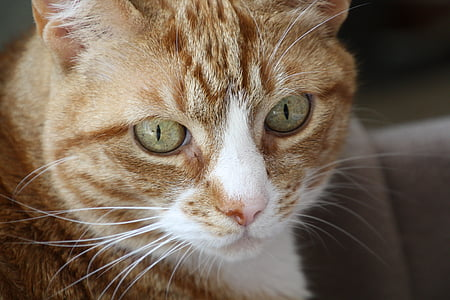 cats, red male, red cat, pet, animal, eyes, cat