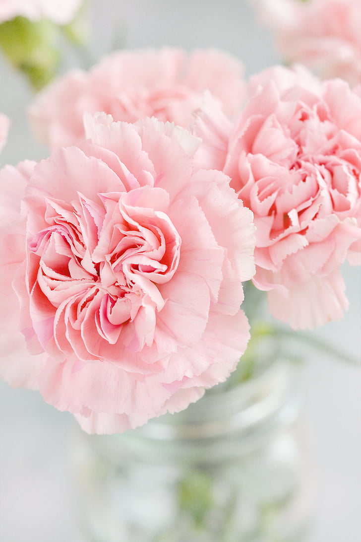 cloves, flowers, petals, pink, schnittblume, vase, close