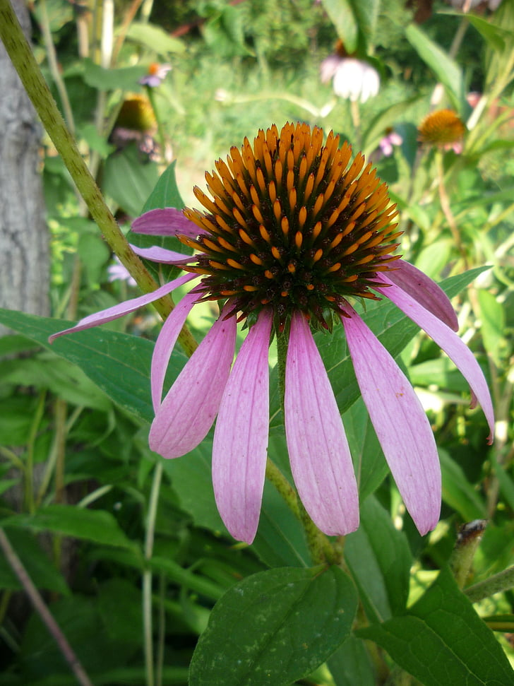 echinacea, coneflower, flower, blossom, bloom, floral, bright