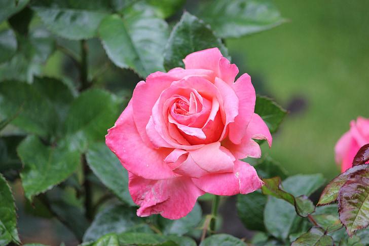 Rosa, salvatge, vermell, rosa vermella, Roser silvestre, rosa vermella salvatge