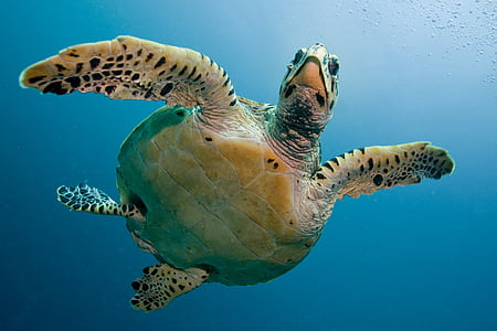 カメ, 亀, 海, 浸漬, 深い, maldivi, 水中