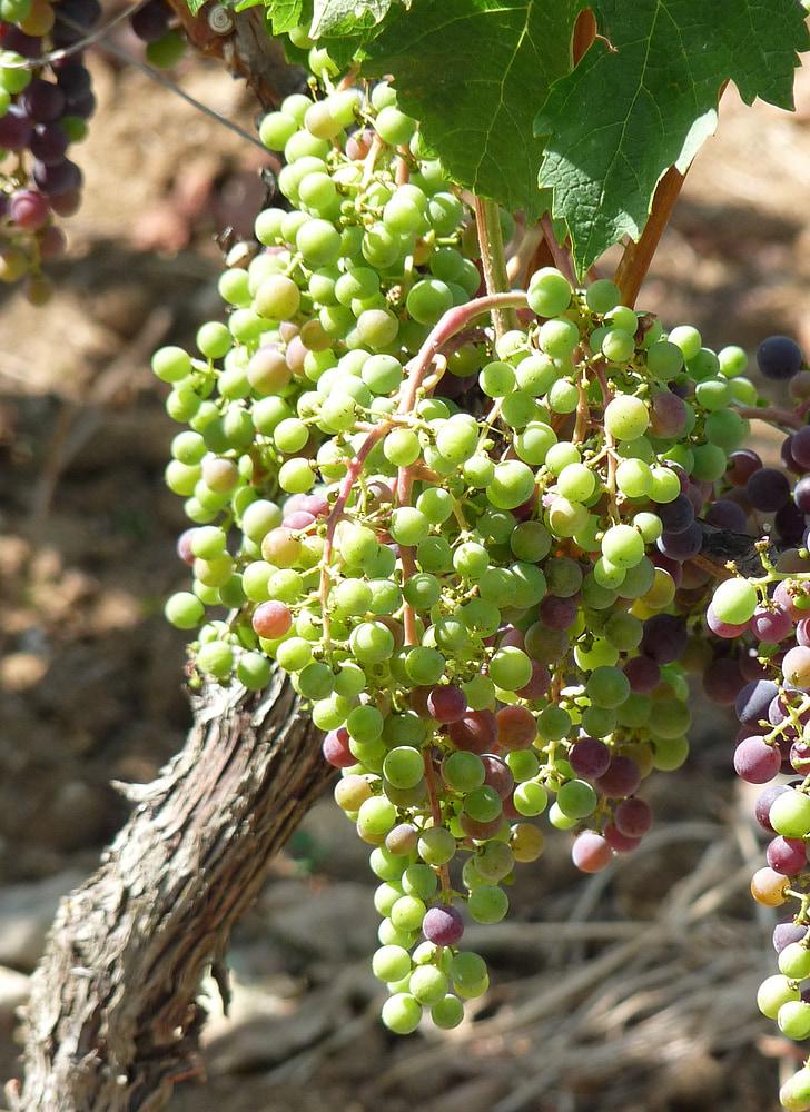 veini, viinamarjad, viinapuu