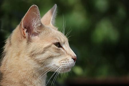 猫, 猫の品種, シャム猫, サバ