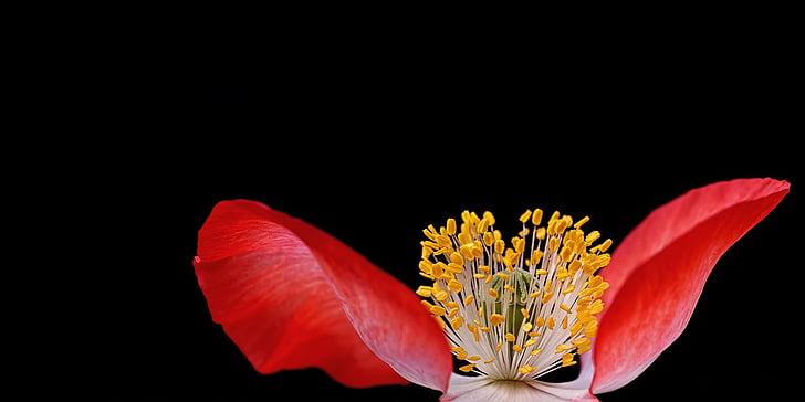 Rosella, planta, natura, macro, tancar, pistil, pol·len