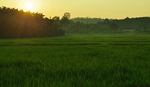 paddy field, sunlight, sagar, india, rice, paddy, agriculture