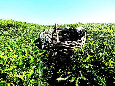 čaj plantáž, čaj farma, čaj, Cameron highlands, Malajzia, Zelená, Príroda