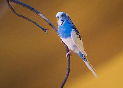 птица, природата, дива природа, Птицеферма, перо, папагал, синьо