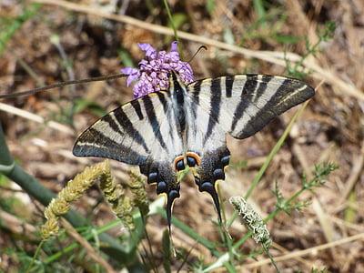 papallona, flor, Libar, Papallona zebrada, xucla llet, xuclallet