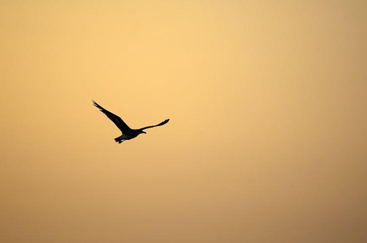 paukštis, Saulėlydis, dangus, šviesos, oranžinė, eventide, žuvėdra