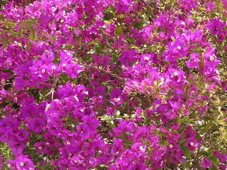 Бугенвиль, Цветы, море цветов, розовый, Лето