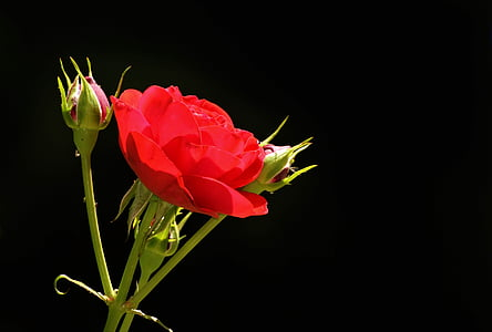กุหลาบ, ดอกตูม, ดอก, บาน, โรสบัด, ดอกกุหลาบสีแดง, ดอกกุหลาบ