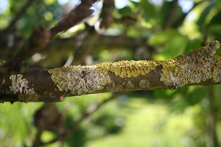 lichen, lichens, lichen on branches, nature, tree, apple tree, wood