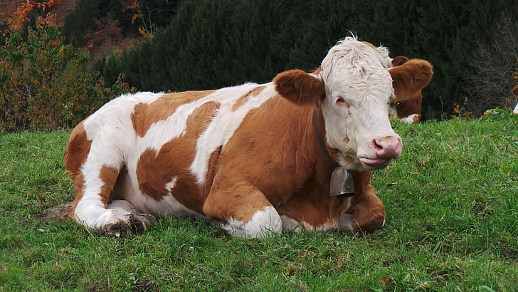 vaca, animal, les pastures