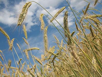 teravilja, nisu, põllumajandus, nisu väli, tera, nisu spike, Spike