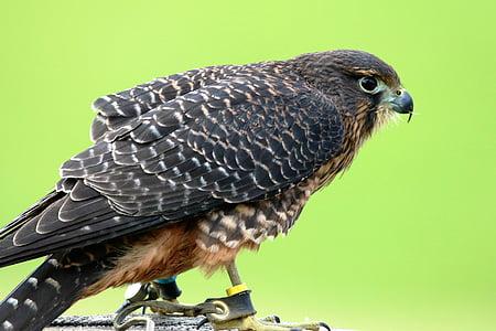 aplomado falcon, falcon, bird, wildlife, nature, natural, hawk