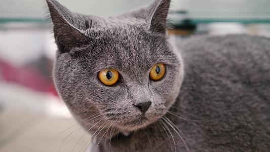 cat mia, blue cat's, pet, animal, domestic Cat, pets, cute