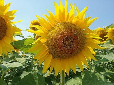 suvel, lill, päevalill, loodus, kollane, Suvine lill, Aed