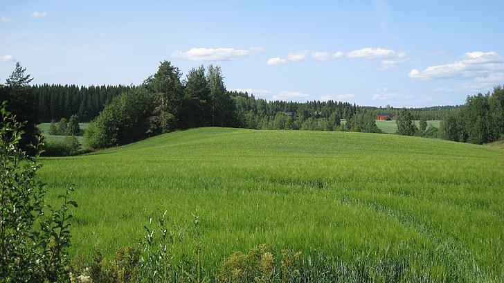 finnish, summer, field, cornfield, green, blue sky, trees