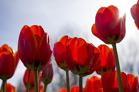 tulips, spring, netherlands, tulip fields, flower, flowers, red