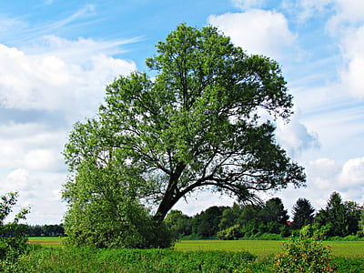 tree, nature, field, landscape