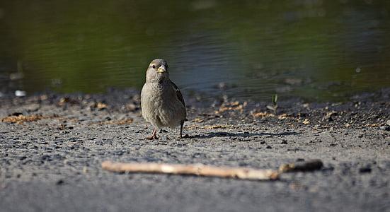 врабче, птица, природата, перо, клон, фауна, дърво
