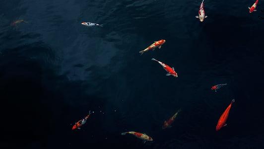 l'aigua, Koi, Estany, peix, carpa, a l'exterior, natura