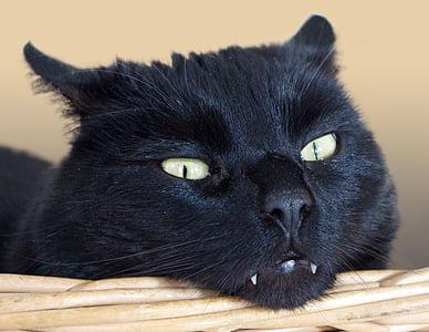 cat, animal, pet, cat's eyes, mieze, portrait, adidas