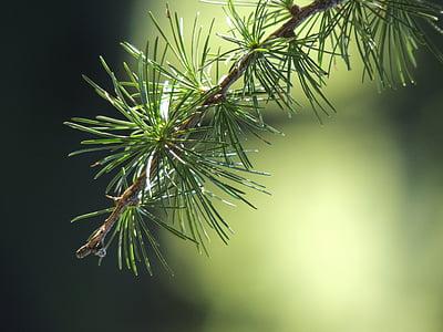 modřín, větev, Příroda, zelená, Les, strom, zelená barva