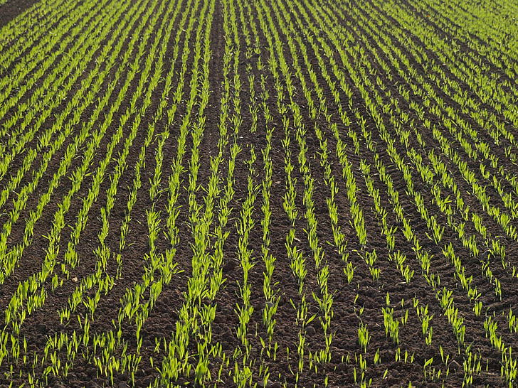 camp, tuds, blat de moro, camp, l'agricultura, sèrie, tardor