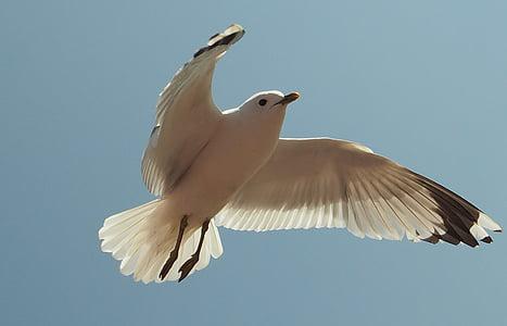 lokki, lintu, vesilintu, Itämeren, Coast, siipi, Flying