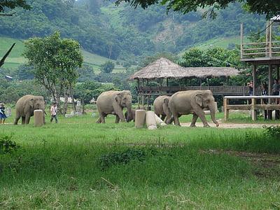 elefants, Tailàndia, parc natural de elefant, elefant, animal, mamífer, natura