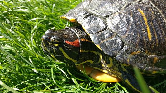 želva, želva rdečevratka, vode želva, plazilcev