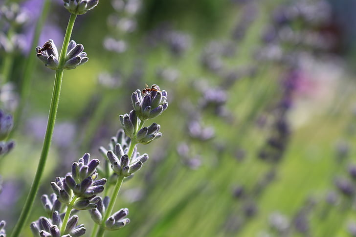 levandų žiedų, Levanda, skruzdė, vabzdžių, tikrosios levandos, kvepiančių augalų, uždaryti