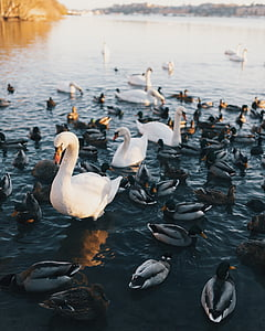 animal, ocell, ànecs, plomes, grup, Llac, a l'exterior